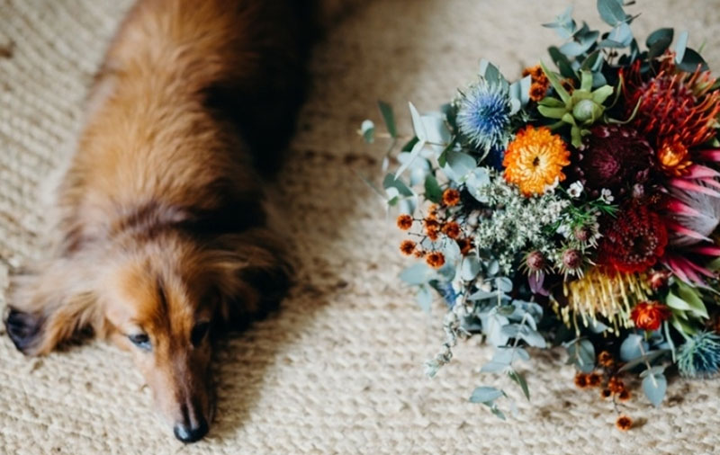 A dog laying next to a large colourful native flower wedding bouquet.